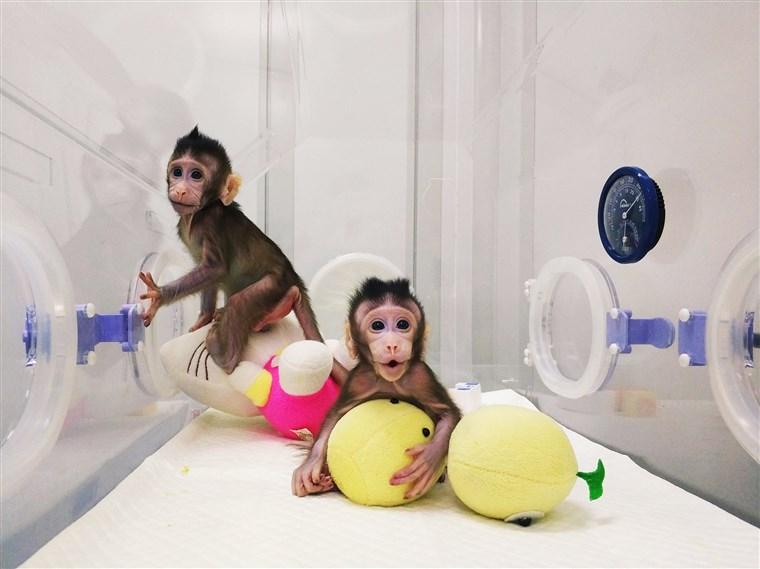 Các nhà khoa học Trung Quốc nhân bản khỉ thành công. Ảnh: AFP
