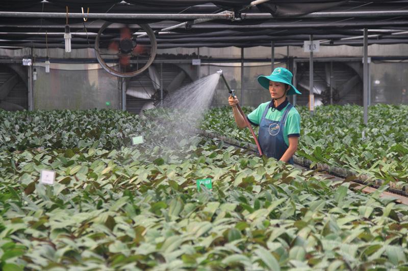 Mô hình trồng hoa lan ứng dụng công nghệ cao tại Hợp tác xã Đan Hoài (huyện Đan Phượng) cho hiệu quả kinh tế cao.