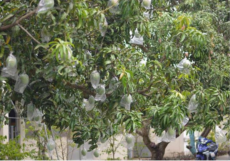 Màng bao được sử dụng trên trái xoài tại Khánh Hòa