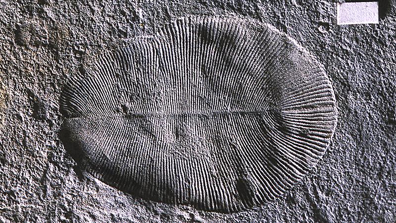 Hóa thạch của Dickinsonia chứa dấu vết phân tử chất béo. Ảnh: D Grazhdankin
