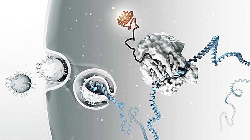 Các phân tử RNA ngắn phá vỡ sự dịch mã của gene. Ảnh: Science