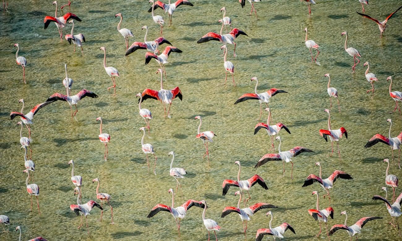 Chim hồng hạc trong khu bảo tồn đất ngập nước Al Wathba (UAE). Liệu những đàn chim đó có trao đổi