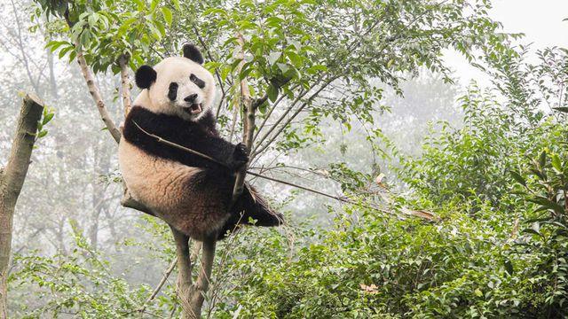 Trước khi chỉ ăn tre, các nhà khoa học xác định tổ tiên gấu trúc đã từng ăn thịt.