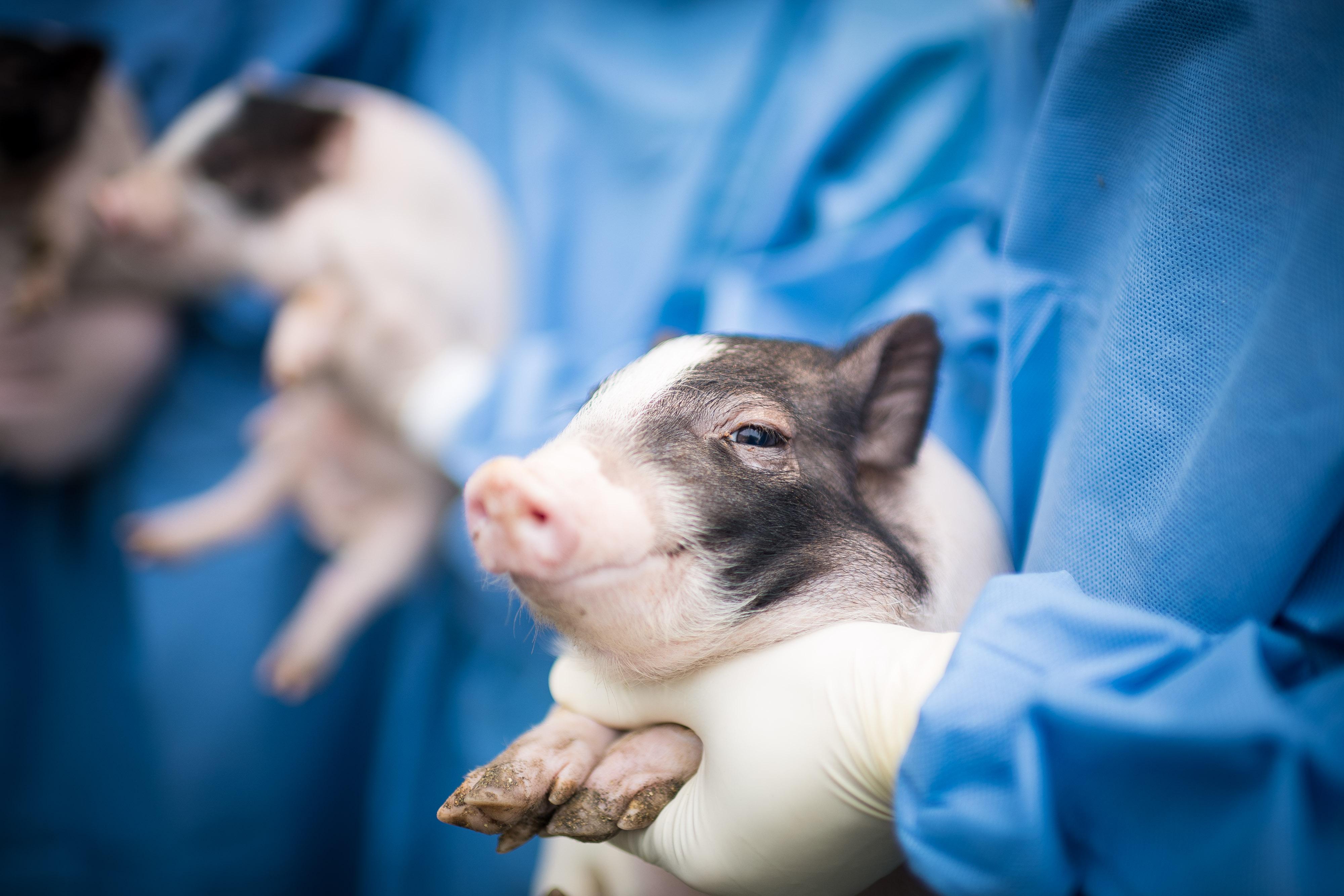 Các nhà khoa học Trung Quốc đã tạo ra những con lợn mi ni để phục vụ nghiên cứu khoa học từ năm 2015.Nguồn: Nature