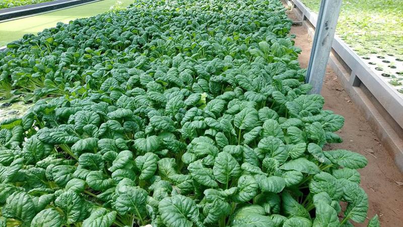 Mô hình trồng rau TCNS của Công ty Thanh Bình thử nghiệm tại Củ Chi