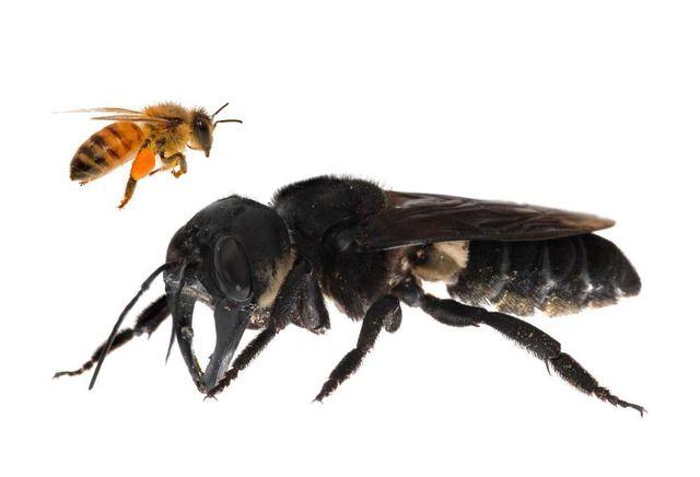 Loài ong khổng lồ mới được phát hiện sau một thời gian dài tưởng chừng đã tuyệt chủng.