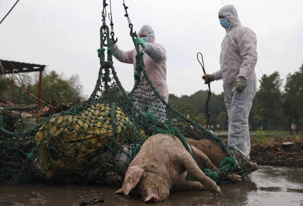Bệnh dịch không phải vấn đề hiếm trong lĩnh vực chăn nuôi lợn Trung Quốc. Vào năm 2013, hàng ngàn xác lợn chết đã được đổ xuống một con sông ở Thượng Hải, mặc dù chính quyền phủ nhận có liên quan đến sốt lợn. Ảnh: EPA