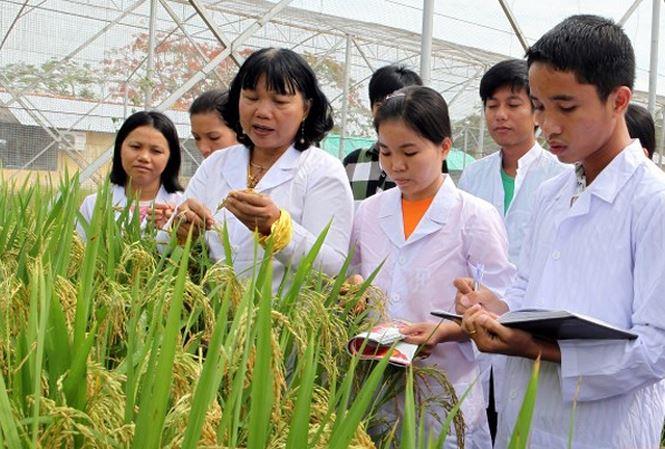 Hơn 6,7 triệu bảng Anh từ Quỹ Newton tài trợ cho chương trình nghiên cứu Lúa gạo bền vững giữa Vương quốc Anh, Việt Nam, Trung Quốc, Thái Lan, Philippines. Ảnh: vov1.vov.vn
