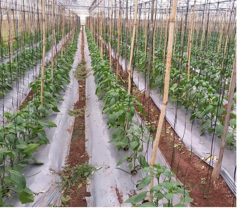 Thử nghiệm ozone lỏng trong trang trại trồng rau ở Lâm Đồng