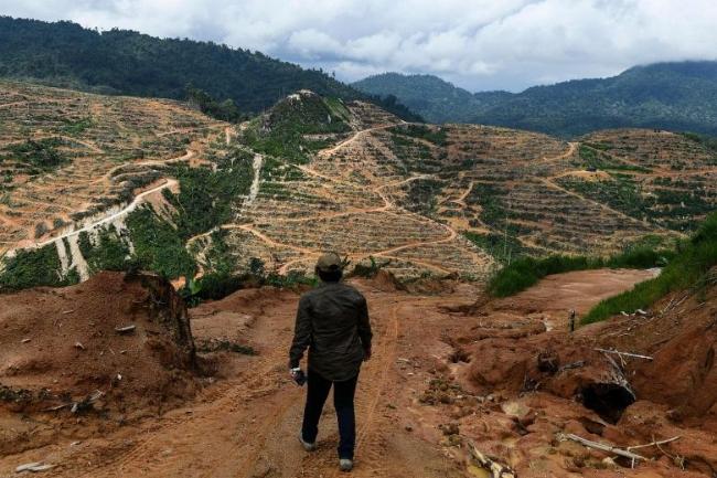 Đồn điền sầu riêng trên diện tích rừng trước đây ở Malaysia - Ảnh: AFP