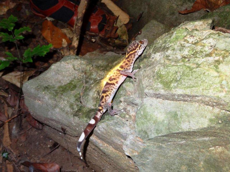Tắc kè Goniurosaurus catbaensis trong môi trường sống tự nhiên của nó. Ảnh: Mona van Schingen