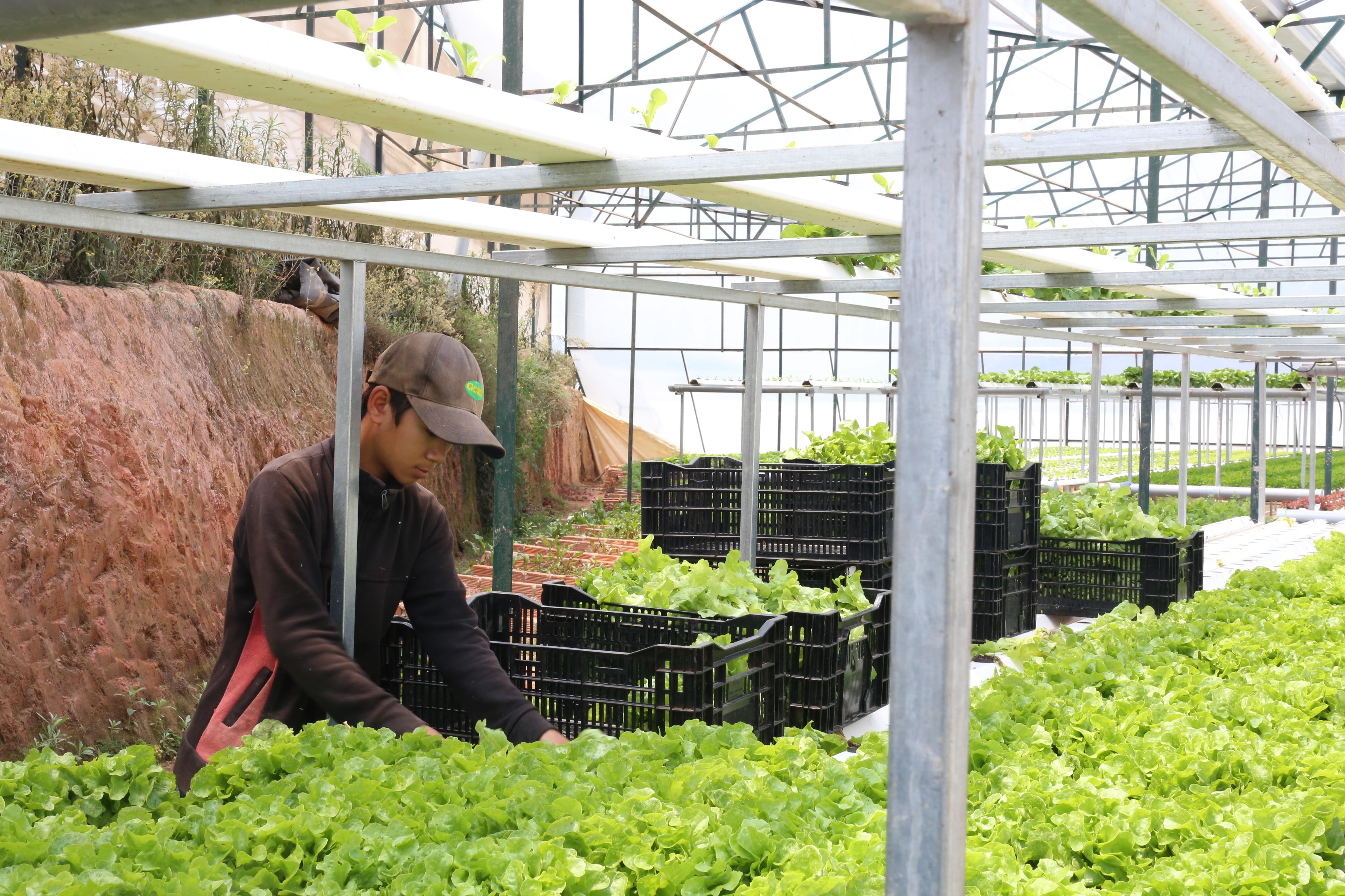 Kết quả điều tra nước ngầm giúp cho UBND tỉnh Lâm Đồng có kế hoạch phát triển nông nghiệp công nghệ cao hiệu quả hơn (Trong ảnh: Sản xuất rau ở doanh nghiệp Kim Bằng. Ảnh: Hảo Linh