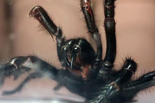 Nọc độc của nhện mạng phễu được cho có khả năng hỗ trợ sản xuất thuốc chống tổn thương não với những người bị đột quỵ.