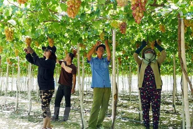 Thu hoạch nho Ninh Thuận. (Ảnh: Công Thử/TTXVN)