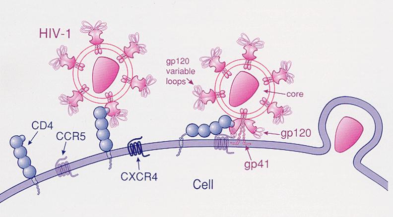 Nếu gây đột biến làm biến mất 1 cặp nucleotide 32 ở gene CCR5 thì HIV không thể xâm nhập vào tế bào.