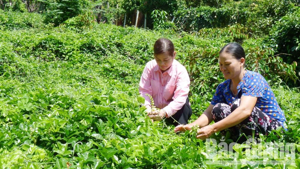 TS. Đồng Thị Kim Cúc (trái) chăm sóc sâm Nam núi Dành (núi Liên Chung, huyện Tân Yên, Bắc Giang). Ảnh: Báo Bắc Giang.