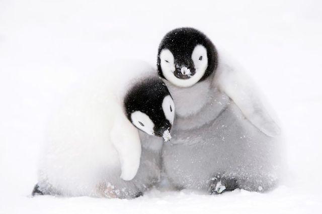 Chim cánh cụt hoàng đế ở Nam Cực đang sụt giảm số lượng nghiêm trọng.