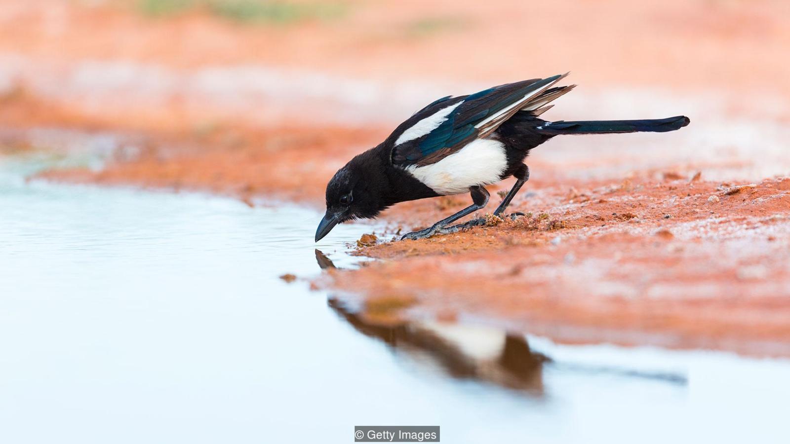 Maggie là một trong số những loài chim có nhận thức cao nhất.