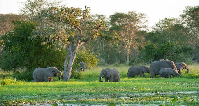 Các loài động vật có vú lớn, chẳng hạn như voi đã quay lại công viên Quốc gia Gorongosa sau hàng thập kỷ vắng bóng do chiến tranh. Ảnh: Ariadne Van Zandbergen/Alamy