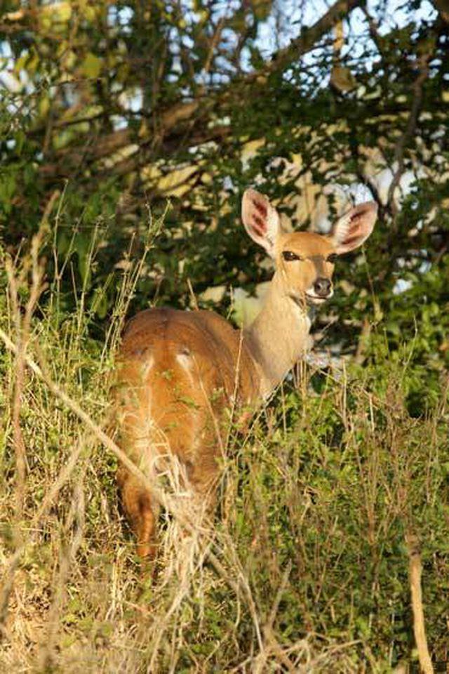 Linh dương Waterbuck được giữ lại trong rừng, môi trường sống an toàn của chúng nhờ các máy phát thanh giả tiếng báo và sư tử lắp ở ven rừng. Ở đồng bằng và thảo nguyên, loài này dễ bị săn đuổi bởi cả động vật ăn thịt lẫn con người. Ảnh: Matthew C. Hutchinson