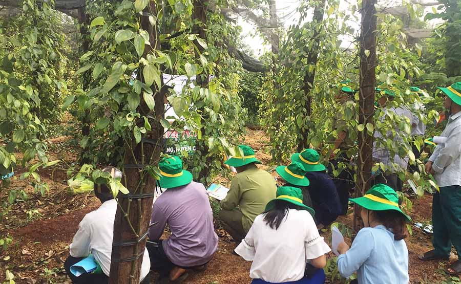 Tập huấn quy trình chăm sóc phục hồi vườn tiêu ở Gia Lai. Ảnh: gialai.gov.vn