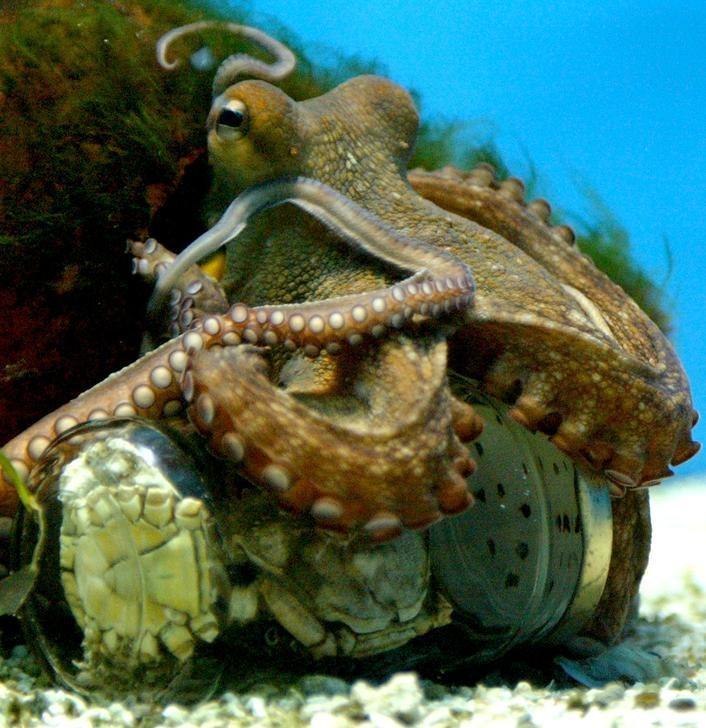Một con bạch tuộc đang tìm cách mở chiếc lọ ra | Ảnh: Reuter