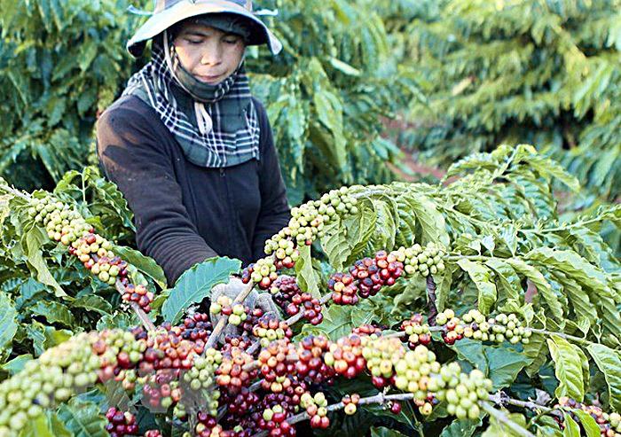 Cần quy hoạch tốt các diện tích trồng cà phê. Ảnh: nongsanvietnam.vn