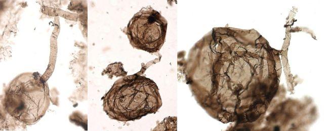Hoá thạch của loại nấm lâu đời nhất trên Trái Đất vừa được phát hiện.