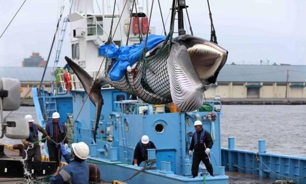 Một trong hai con cá voi vừa bị Nhật Bản bắt hôm 1.7 - Ảnh: Internet