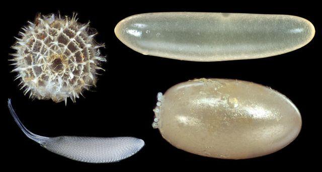 Theo chiều kim đồng hồ: trứng của bướm hairstreak (Jamelnus evagoras), trứng của dế mèn hai đốm (Gryllus bimaculatus), trứng của bọ Bông tai (Oncopeltus fasciatus) và trứng loài ruồi Hawaii (Drosophila mimica). Ảnh: S.H. Church và S. Donoughe.