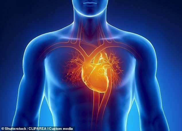 Dịch ngoài màng tim chứa đại thực bào (macrophage), tế bào miễn dịch giúp sửa chữa tim sau chấn thương và ngăn ngừa sẹo cơ tim - Ảnh: Shutterstock