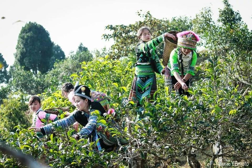 """Sản xuất chè ở Yên Bái đa phần vẫn còn manh mún, nhỏ lẻ và tự phát. Chỉ có một số ít công ty đưa sản phẩm đi xuất khẩu nhưng vẫn chỉ dán nhãn """"Made in Vietnam"""" chung chung mà chưa khẳng định được thương hiệu."""