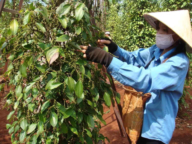 Nhiều người trồng hồ tiêu ở Gia Lai còn thờ ơ với thương hiệu hồ tiêu Chư Sê. Nguồn: Báo Gia Lai