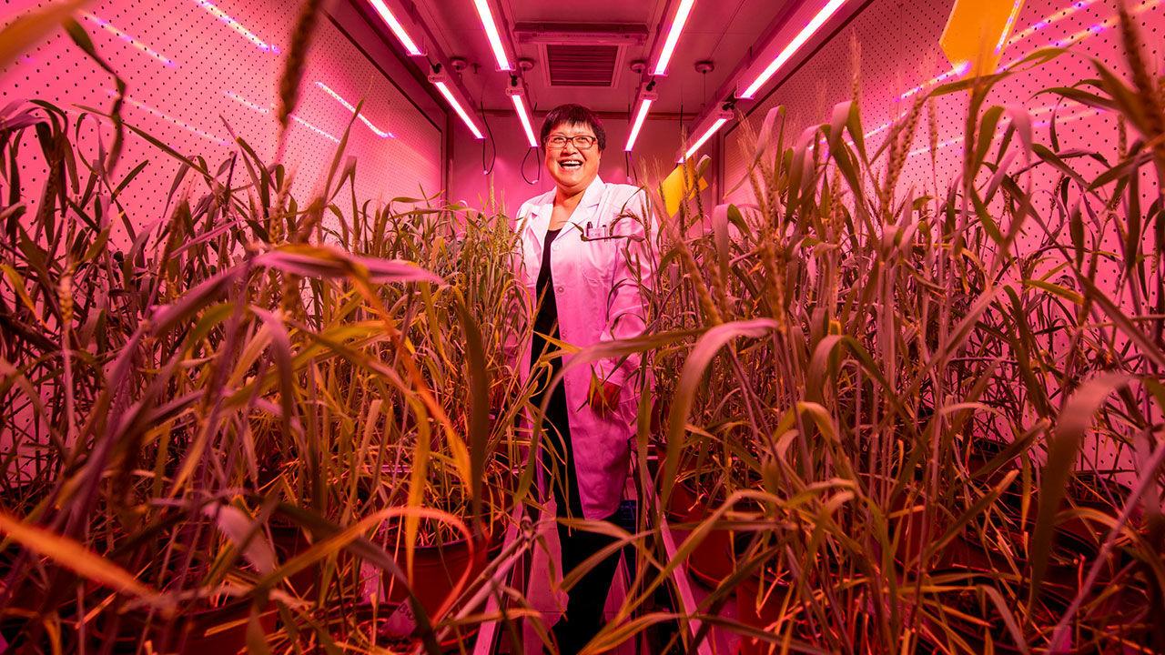 Trong số 52 công bố CRISPR về cải thiện tính trạng của cây trồng nông nghiệp, được xuất bản từ năm 2014 đến 2017, Trung Quốc chiếm 42% tổng số công bố. Trong ảnh: Nhà nghiên cứu Gao Caixia, ở Viện Hàn lâm Khoa học Trung Quốc, đứng bên cạnh những cây lúa mỳ được chỉnh sửa gene. Nguồn: sciencemag