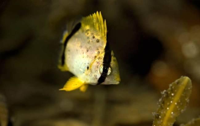 Một con cá bướm vây được chụp tại vùng biển Canada, các hàng ngàn dặm so với khu vực sinh sống bình thường của nó - Ảnh: Independent.