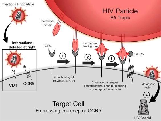 Một đột biến gene khá hiếm giúp cơ thể người chống lại sự lây nhiễm virus HIV. (Nguồn: sciencedirect.com)
