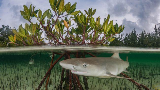 Ảnh: Loài cá mập chanh (Negaprion brevirostris) sống chủ yếu ở các rừng ngập mặn, vùng vịnh và rặng san hô. (Nguồn: Shutterstock)