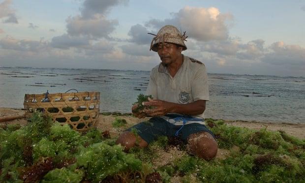 Một người nông dân trồng rong biển ở Bali, Indonesia. Ảnh: Suzanne Plunkett/AP.