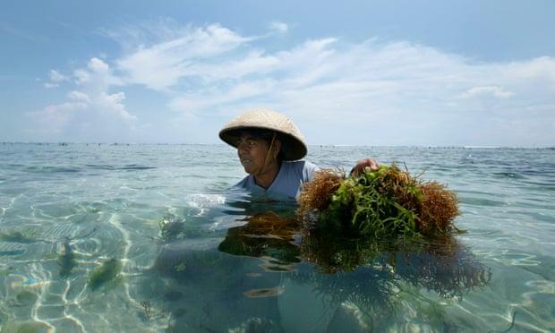 Một người phụ nữ ở Bali đang thu hoạch rong. Ảnh: Ed Wray/AP.