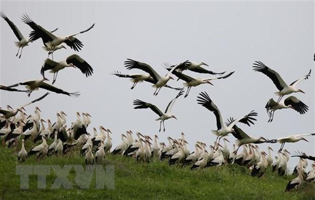 Hạc trắng trên đồng cỏ tại làng Ajja gần thành phố Bờ Tây Jenin. (Ảnh: THX/TTXVN)
