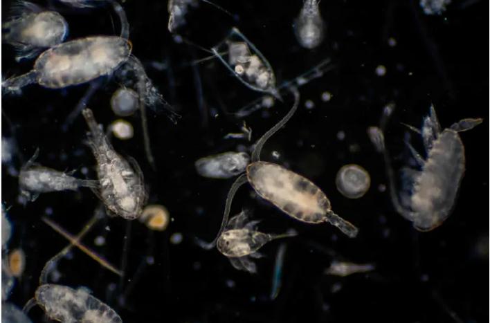 Sự tích tụ quá mức của tảo và các sinh vật phù du có thể sản sinh ra nhiều độc tố, làm hại cá nuôi. Ảnh: Internet.