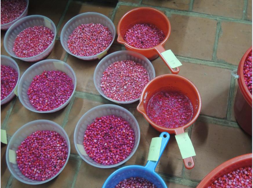 Xử lý các giống ngô lai Việt Nam LVN-10 và VN 8960 bằng nano Fe0, Cu0, Co0 ở các liều lượng khác nhau.