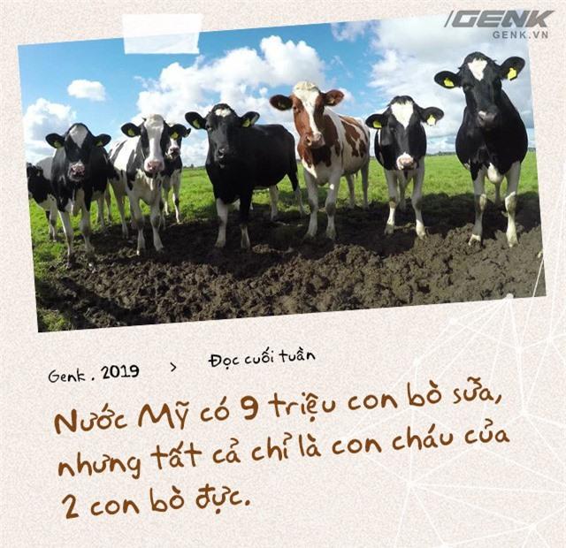 Đọc cuối tuần: Nước Mỹ có 9 triệu con bò sữa, nhưng tất cả chỉ là con cháu của 2 con bò đực - Ảnh 1.