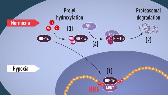Khi lượng oxy thấp (thiếu oxy), HIF-1α được bảo vệ khỏi sự thoái biến và dồn vào trong nhân, nơi nó liên kết với ARNT và liên kết với các chuỗi DNA cụ thể (HRE) trong các gene (1).   Ở mức oxy bình thường, HIF-1α thoái biến nhanh chóng bởi proteasome (2).  Oxy điều chỉnh quá trình thoái biến bằng cách thêm các nhóm hydroxyl (OH) vào HIF-1α (3).   Protein VHL sau đó có thể nhận thấy và tạo thành một phức hợp với HIF-1α dẫn đến sự thoái biến của nó tùy thuộc vào lượng oxy (4). Ảnh: Courtesy Karolinska Institute.