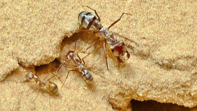 Hình ảnh loài kiến bạc Saharan.