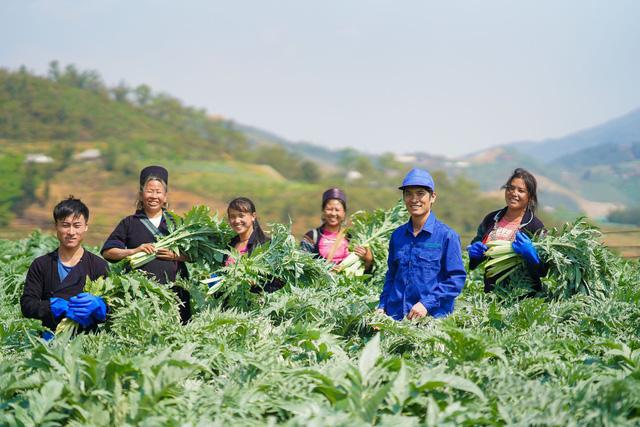 Kỹ sư nông nghiệp Nguyễn Phú Trí công ty Traphaco (thứ hai từ phải sang) hướng dẫn kỹ thuật cắt lá Actiso cho nông dân xã Sa Pả (huyện Sa Pa, Lào Cai) - Ảnh: Nguyễn Khánh/Trapaco.