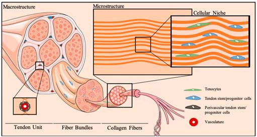Ổ tế bào gốc gân