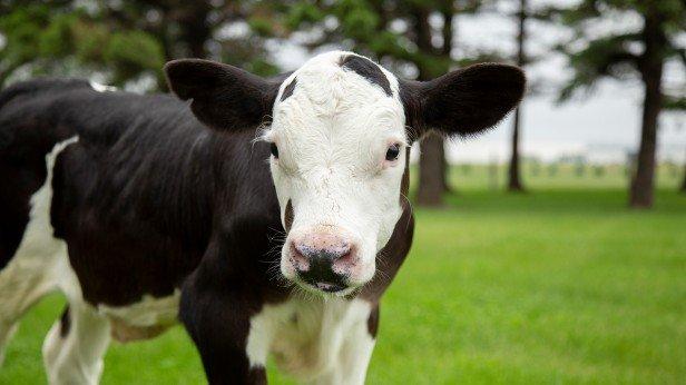Bò cái Oakfield không sừng được thương mại hóa từ nhiều năm nay nhưng đang phải đổi mặt với nguy cơ thiêu hủy   Ảnh: Cornell