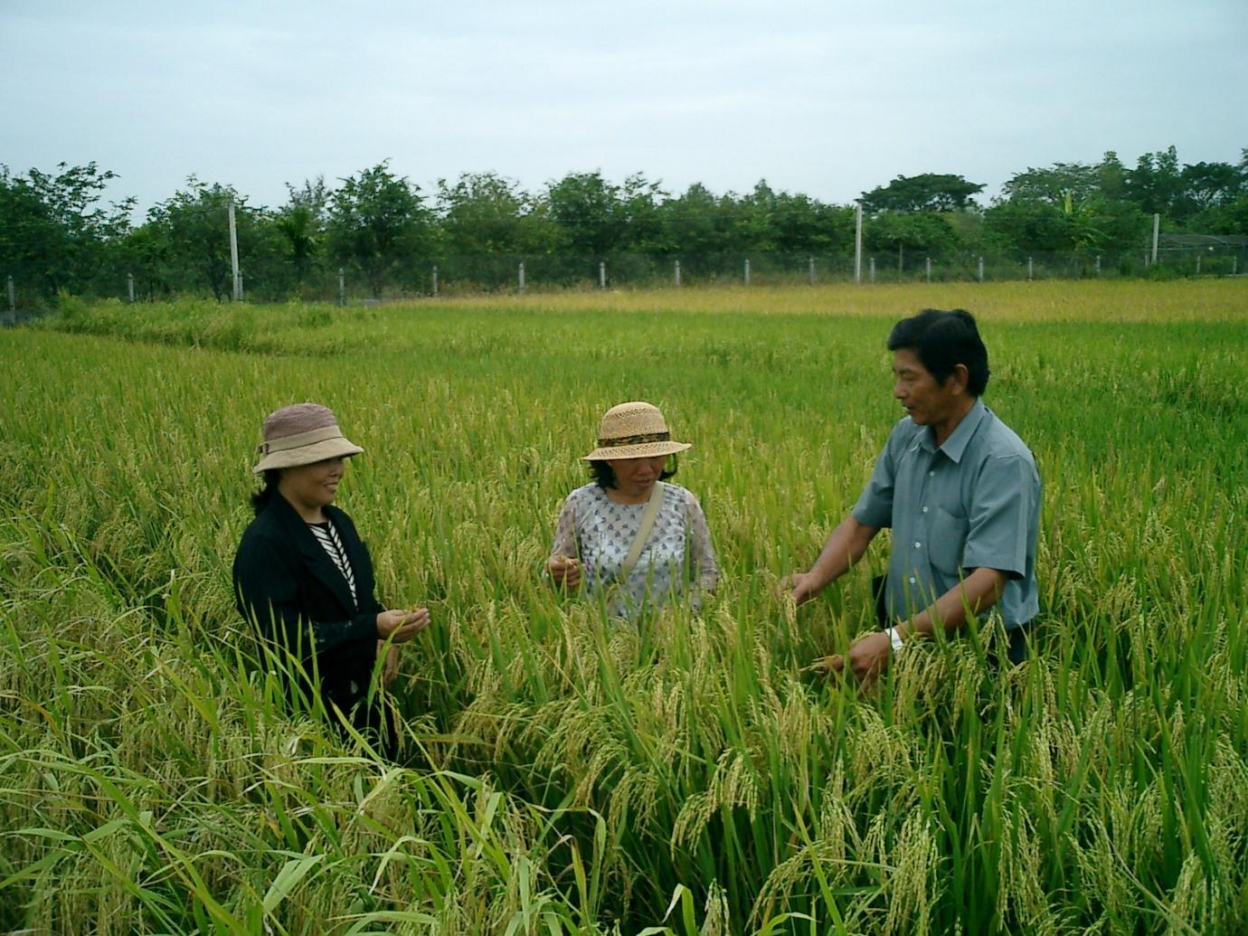 Hồ Quang Cua, Nguyễn Thu Hương và Đặng Thị Cúc đang chọn giống lúa ST trên trại giống lúa HQCua ngày 23/1/2003. Ảnh: Võ Tòng Xuân.