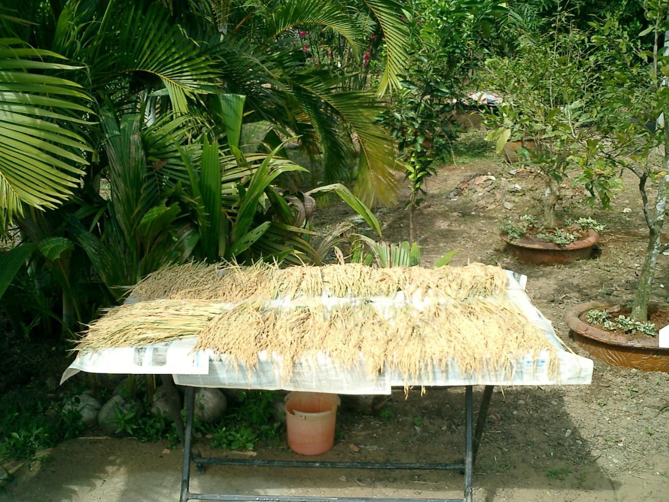 Những bông lúa được chọn từ các dòng đang phân ly, phơi trong vườn nhà Hồ Quang Cua. Ảnh: Võ Tòng Xuân.